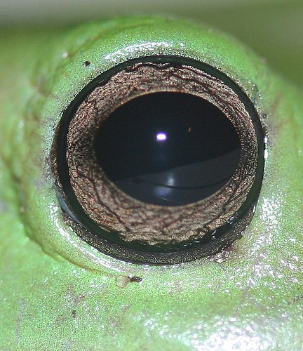 Frogs eye