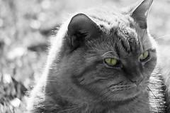 green-eyed feline (thanker212) Tags: bw cat picnik photofaceoffwinner pfogold photoshoppedchallenge