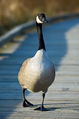 Goose on Board Walk (Mark Klotz) Tags: canada birds geese bc goose burnaby animalplanet canadagoose brantacanadensis canadageese feathery burnabylake markklotz mywinners