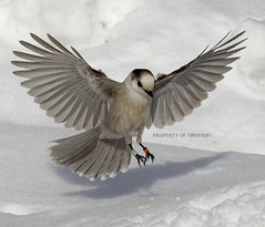 (#141) One Is Not Enough (tinyfishy) Tags: ontario canada bird inflight soe banded naturesfinest greyjay algonquinprovincialpark mywinners diamondclassphotographer flickrdiamond goldstaraward