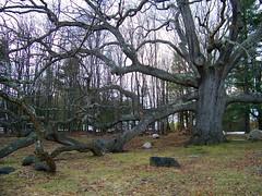The Dewey Oak (rich66 ~~) Tags: old tree landscape oak rocks connecticut newengland geocache granbyct 400years granbyoak treesubject deweyoak salmonbrookhistoricalsociety remindsmeofthewhompingwillowtreefromharrypotter
