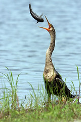 Catching Fish (Megan Lorenz) Tags: bird nature water birds outdoors published florida wildlife waterbird anhinga snakebird wildbird myakkastatepark abigfave anawesomeshot avianexcellence diamondclassphotographer incrediblenature betterthangood theperfectphotographer iamflickr qualitypixels thewanderlust naturallymagnificent thewonderfulworldofbirds vicephotocontest neighborhoodnw09 photocontesttnc10