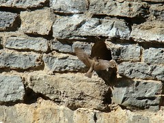 Northern rough winged swallow nest building