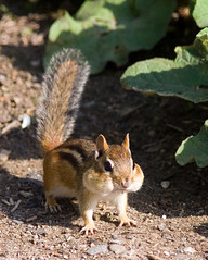 Chipmunk with a mouthful of seeds (Phil Armishaw) Tags: copyright ontario canada cute animals burlington inn phil explorer small seeds explore chipmunk valley mouthful flickrsbest naturewatcher platinumheartaward natureselegantshots armishaw