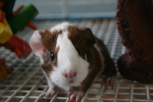 guinea pig babies.
