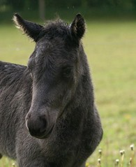 Sis proudly presents...: Mads (Jaedde & Sis) Tags: horse female icelandic foal lillemy pregamewinner mads