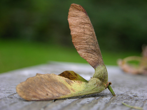 Maple seed close-up
