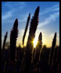 Silhouette (aunullah) Tags: blue light sky orange sun plant flower silhouette yellow canon flora ray kitlens bunga siluet sunray biru kuning langit sinar cahaya matahari jingga tanaman tumbuhan 450d 1855mmis