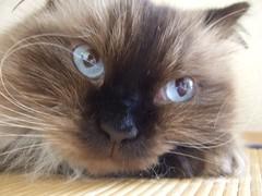 0709221154 (superstarjet) Tags: blue color animal cat f30 finepix himalayan 2007 ameo