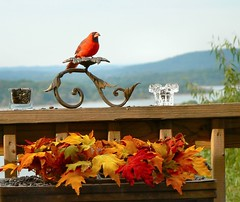 Make Way for the Autumn King! (Lollie Dot Com) Tags: bird cardinal naturesfinest lolliedotcompix p1330693nncc