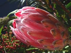 Pink Cone (Kaos2) Tags: flower macro bouquet upclose protea forme passionphotography diamondclassphotographer flickrdiamond ysplix
