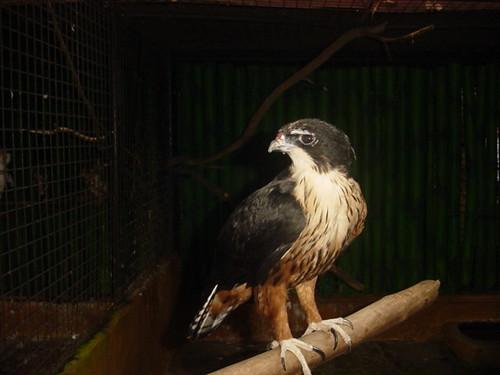 เหยี่ยวท้องแดง  Rufous-bellied Eagle  1874234559_fc9d40484c