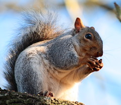 Squirrel (torimages) Tags: squirrel wildlife sd allrightsreserved donotusewithoutwrittenconsent copyrighttorimages