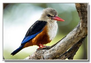 Gråhuvad kungsfiskare - Halcyon leucocephala - Grey-headed Kingfisher