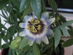 Passiflora (kam_banka) Tags: flowers passiflora