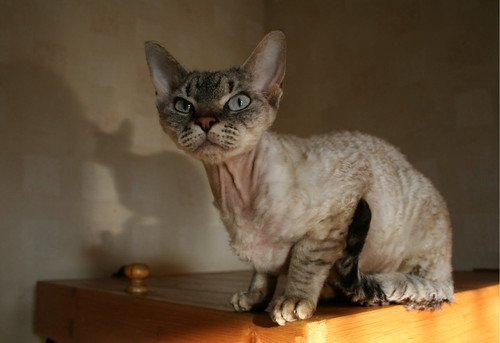 Devon Rex with Pointed Pattern
