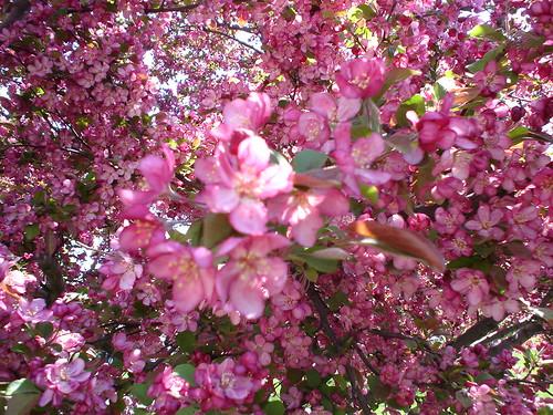 cherry_tree7