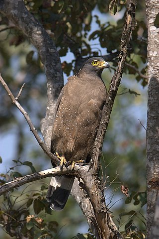 crested serpent eagle b r hills 030108