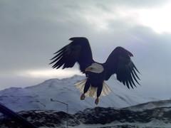 Aleutian Eagle