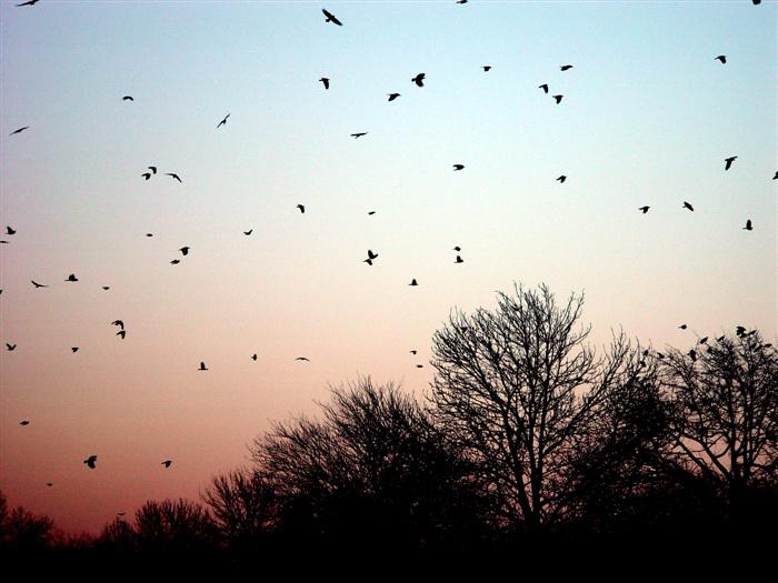 crows-704291.jpg