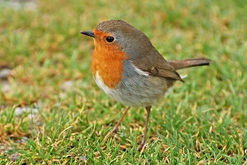 Robin by nurgles pustule.