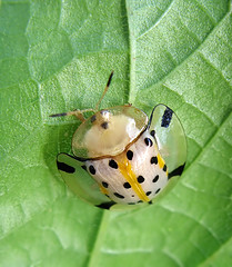 Spotted cutie (Sue323 :-)) Tags: macro nature insect maria philippines images sue luonto muntinlupa laakso alabang hynteinen digitalcameraclub amazingtalent 10faves tortoisebeetle anawesomeshot canonpowershota710is