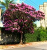 QUARESMEIRA rosa  (Tibouchina Granulosa Kathleen)  sao paulo brasil (mauroguanandi) Tags: brazil picnik tibouchina melastomataceae mimamorflores tibouchinagranulosakathleen awesomeblossoms