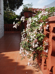 jasmine cascades over the terrace wall