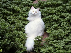 Lily (brooksbos) Tags: portrait pet white cute green beautiful animal boston cat garden ma photography photo feline lily sweet newengland mainecoon lovely bostonma bostonist white masschusetts lurvely cat maine 02116 thatsboston coon brooksbos