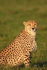 Male Cheetah (Lyndon Firman) Tags: searchthebest kenya cheetah masaimara acinonyxjubatus specanimal jalalspagesanimalkingdom