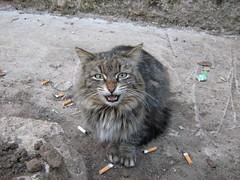 street cats. part two (ilexxx) Tags: street pet cats pets animal animals cat kitty kitties