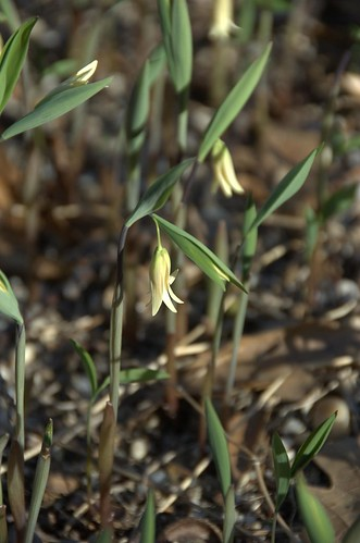 Uvularia sessilifolia, Wild Oats, Native Flora Garden, BBG