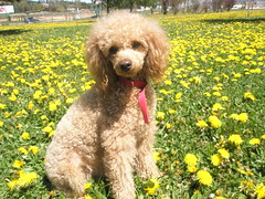 20080424_08 (Chivirita) Tags: dog flores animal sweet perro poodle caniche