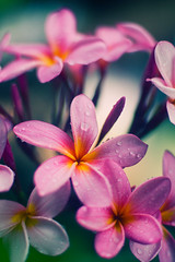 My Mom's Frangipani (Plumeria) _DSC3239 (Fadzly @ Shutterhack) Tags: travel vacation plants holiday hot flower macro nature up writing d50 catchycolors garden 50mm interestingness backyard nikon asia poem close plumeria bokeh natureza natur grow natuur natura literature malaysia tropical frangipani tropic bouquet write nikkor terengganu equator humid 50mmf14ai mys  maleisi charakter  nikonnikkor50mmf14 explored  sooc nikonstunninggallery kalikasan doniannone shutterhack helpsaveourearth beautifulhour