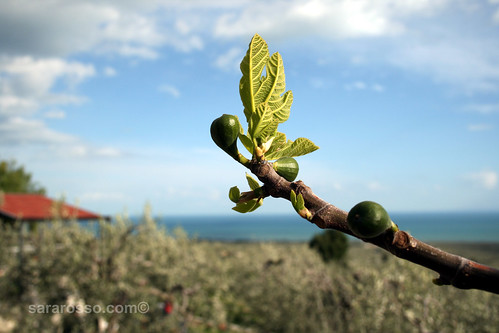 Baby fig tree in Puglia