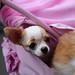 チワワ:Chihuahua_30