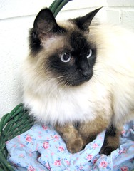Beautiful Siamese Mix Cat, No Name Tag Yet (Pixel Packing Mama) Tags: beautiful lovely1 catsandkittensset exclamationpoints beautifulcats pixelpackingmama blueeyedanimalspool dorothydelinaporter worldsfavorite favoritedpixset spcacatspool spcacats catsinbasketsset exclamationpointspool pixwithexclamationpointsincommentsset canonpowershota720isset canonalcanonset uploadedsecondhalfof2008set exclamationpointsincommentsset pixelpackingmama~prayforkyronhorman oversixmillionaggregateviews over430000photostreamviews