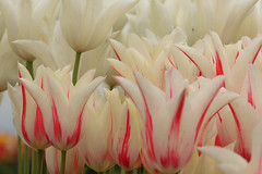Tulips (ScenicScapes) Tags: flowers flower spring scenery colorful scenic wildflowers wildflower scenics springtime cartwright photoscenics terrycartwright