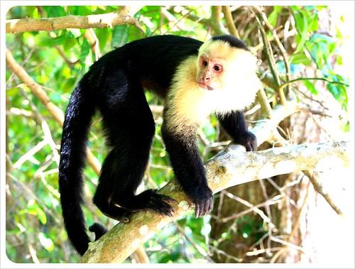 Monkey in Manuel Antonio