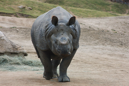 Opu, Southern White Rhino