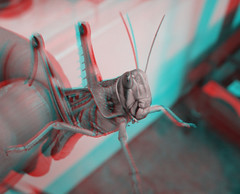 Locust (Little Boffin (PeterEdin)) Tags: red color colour green insect stereoscopic 3d eyes cyan anaglyph cricket stereo grasshopper hopper opticalillusion locusts anaglyphs invertibrates locusta stereoimages 3dpictures stereopictures schisticerca