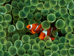 Clown Fish (kruhme) Tags: ocean sea wallpaper orange pez verde green apple mar pc meer foto peces fisch clownfish grn naranja fondo imagen fondodeescritorio iphone calidad fische 1024x768 hintergrundbilder pezpayaso spinecheek premnas biaculeatus