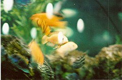 Liquid motion (che moleman) Tags: pet pets fish fern film 35mm canon aquarium store underwater ae1 che cichlids canonae1 petstore moleman camacho chemoleman ferncamacho