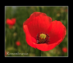 Remembrance (strussler) Tags: red flower macro canon eos 50mm sigma poppy 5d remembrance polaris canonusers abigfave anawesomeshot ultimateshot strussler