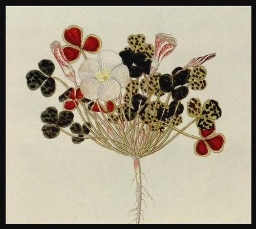 Oxalis Monographia - Nicolao Josepho Jacquin 1794 - Missouri Botanical Gardens (detail)