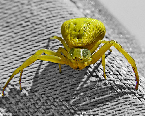 tiny yellow crab spider