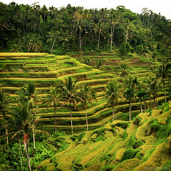 tegalalang (M3R) Tags: bali green field indonesia rice terrace ladder ubud tegalalang canonef28105mmf3545usm canon400d photofaceoffwinner photofaceoffplatinum everywherewalks mariaismawi gapjuly10