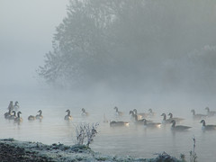Sunrise on the river - Thames path (macfudge1UK) Tags: uk autumn england mist nature water thames river geese europe path riverthames oxfordshire brantacanadensis canadageese avian thamespath 2007 oxon birdwatcher swinford 10faves allrightsreserved outstandingshots platinumphoto anawesomeshot aplusphoto unature swinfordtollbridge naturewatcher theperfectphotographer scenicsnotjustlandscapes