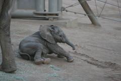 Baby elephant Kamile loses her balance (kjdrill) Tags: california park wild usa baby elephant animal sandiego african elephants calf 210 sanpasqualvalley escondio