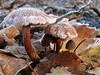 Protecting the kids (Tom Heijnen) Tags: mushroom frost icecristal ctomheijnen